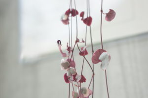 ハートカズラの花